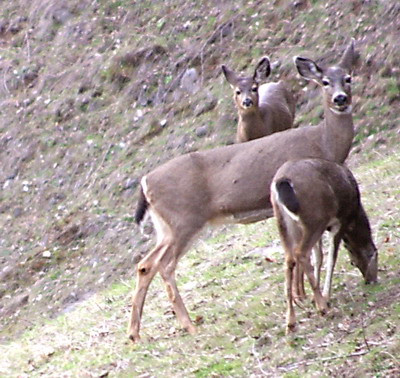 Deer at Mt St Helens